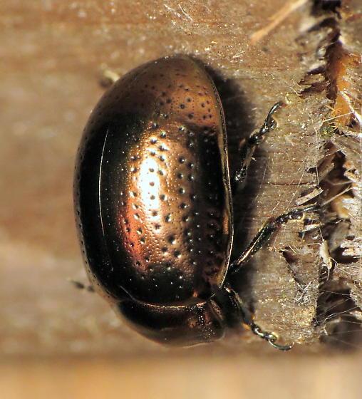 Unknown metallic beetle - Chrysolina