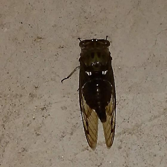 Found this ?Cicada creeping around in carport tonite. Just wondering if it is a cicada and maybe more info?