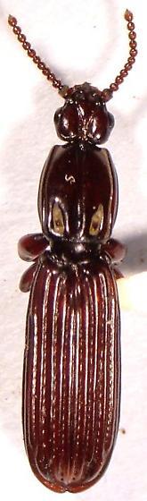 Rhysodid - Clinidium baldufi - male