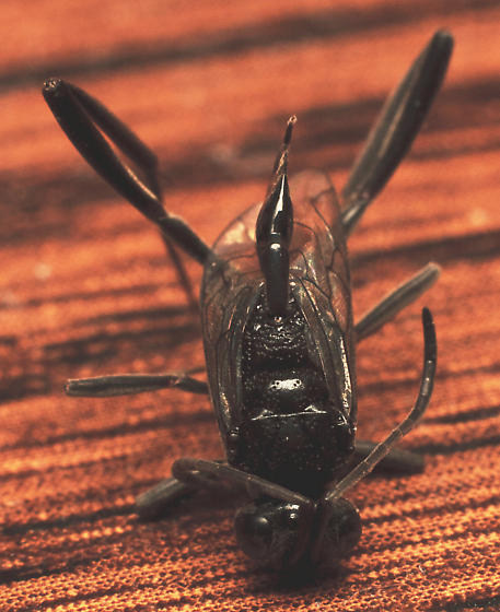 Dead ensign wasp
