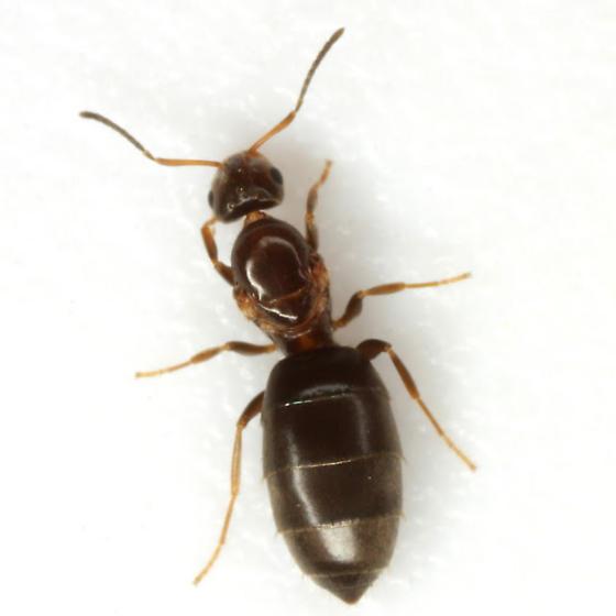 Brachymyrmex - female
