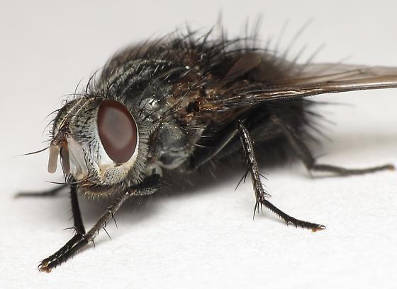 Leschenaultia halisidotae - Leschenaultia - female