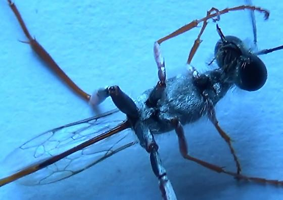 Sexing wasps in the genus Ammophila (clypeus outline) - Ammophila - male