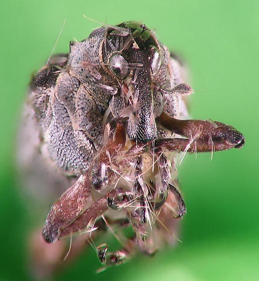 Snout beetle - Phytobius leucogaster