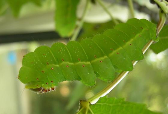 Fifth-instar larva - Actias luna