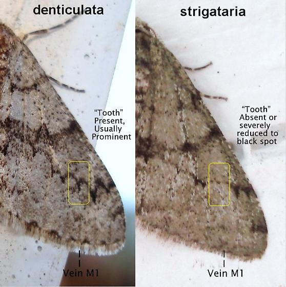 denticulata/strigataria vein markings - Phigalia - male