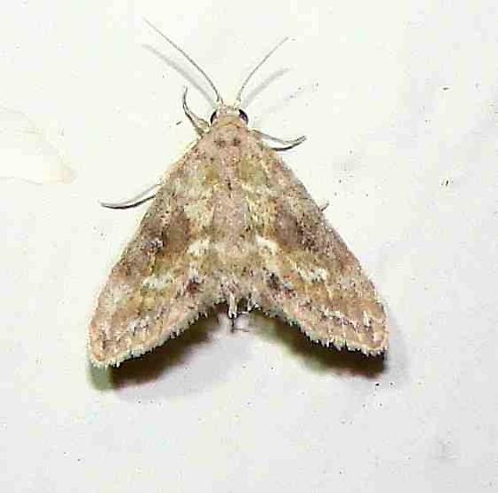 Moth - Sigela sordes