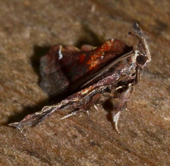 Clydonopteron sacculana – Trumpet Vine Moth - Clydonopteron sacculana