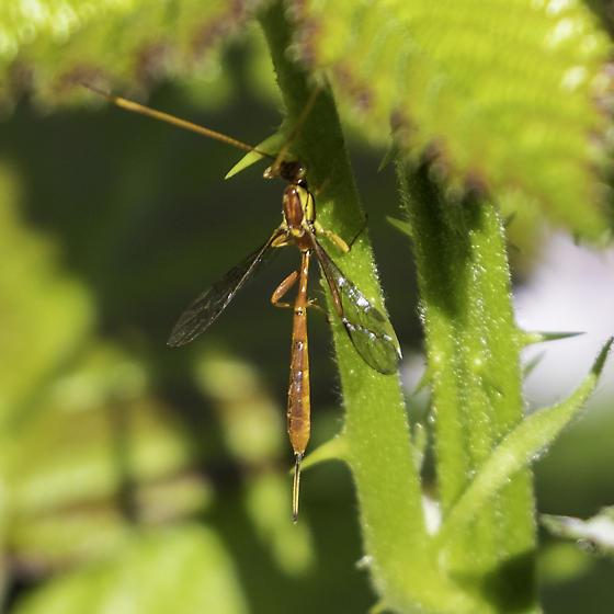 ichneumon wasp - Grotea californica - female