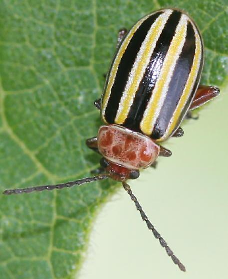resembles Disonycha - Disonycha admirabila