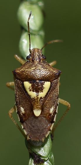 Stinkbug - Oebalus insularis