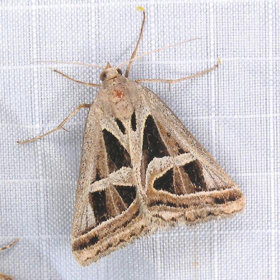 wedge-patterned moth - Callistege intercalaris