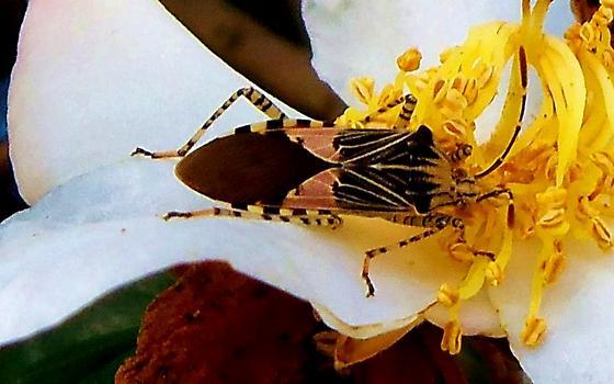 Spot-sided coreid, Florida! - Hypselonotus punctiventris