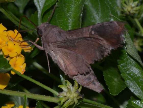 Moth - Enyo lugubris