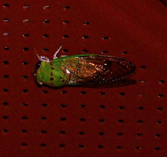 Green Bug with Black Markings on Head - Neotibicen superbus