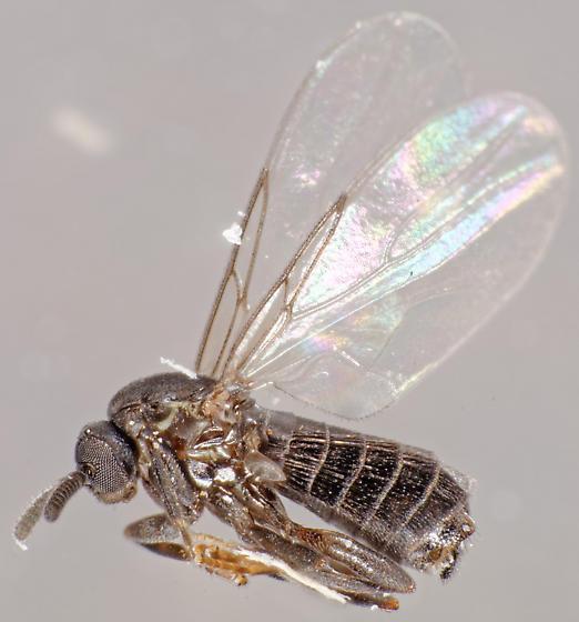 scatopsid - Coboldia fuscipes - male