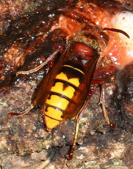 Large Wasp - Vespa crabro
