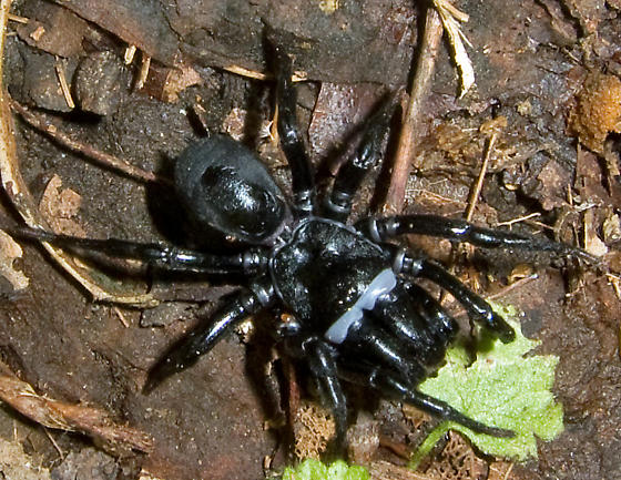 Black Purseweb Spider - Sphodros niger