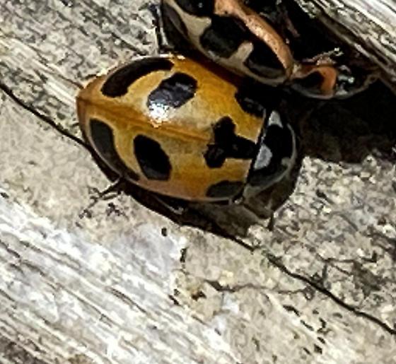 Lady Beetle with Unusual Pattern 2 - Hippodamia
