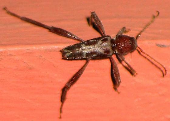 big-legged beetle - Neoclytus cordifer