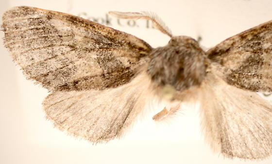 Gluphisia septentrionis - male