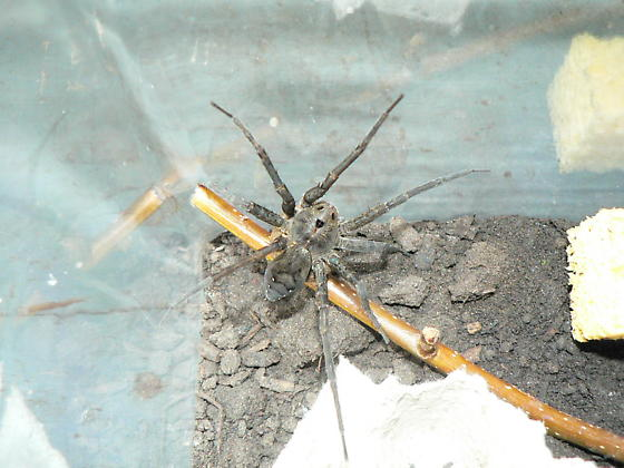 Is this a fishing spider - Dolomedes vittatus - female
