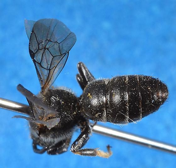 Colletidae: Hylaeinae? - Hylaeus basalis - male