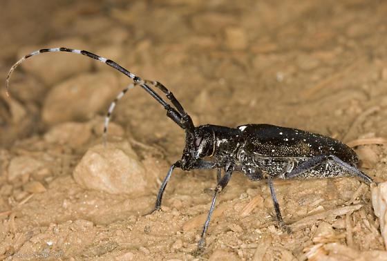 White-Spotted Sawyer - Monochamus scutellatus - female