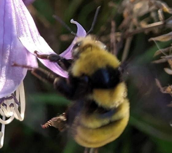 Northern Amber Bumble Bee (Bombus borealis)? - Bombus borealis
