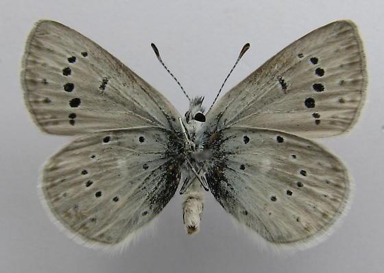 Plebejus icarioides atascadero - Plebejus icarioides - male
