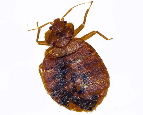 Bed bug or other Cimicid? - Cimex lectularius - male