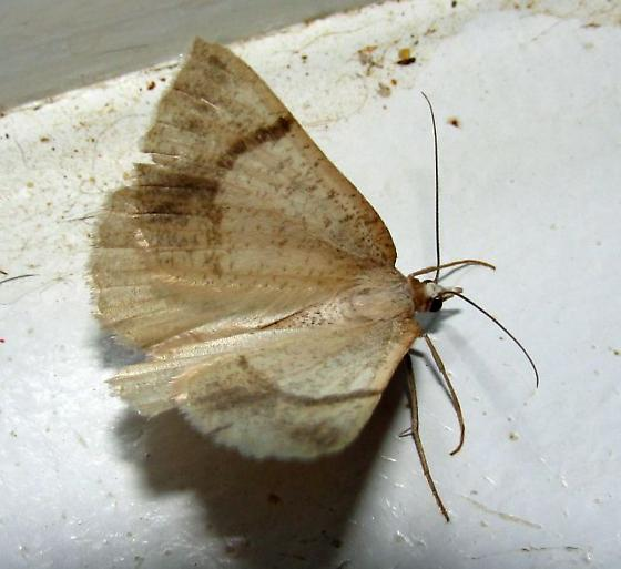 Awful moth but For Oregon and July  - Sericosema juturnaria