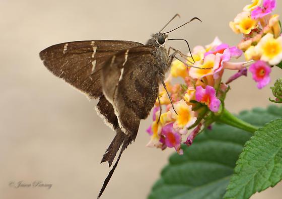 Brown Longtail - Urbanus procne - female