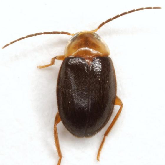 Sacodes pulchella (Guérin-Méneville) - Sacodes pulchella
