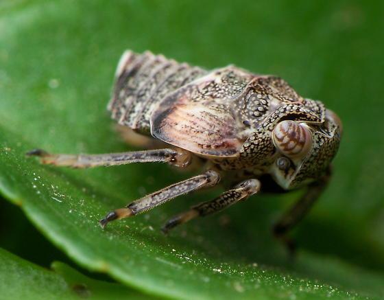 Hopper Nymph - Exortus punctiferus