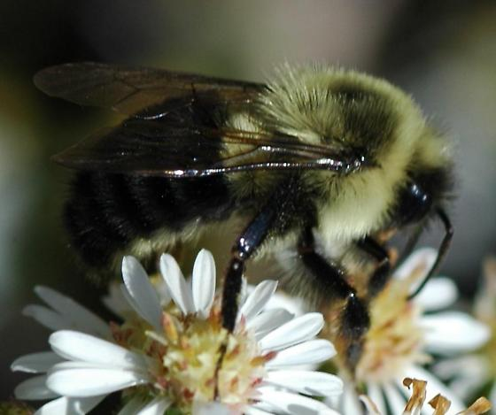 Bumble bee on Aster - Bombus impatiens - male