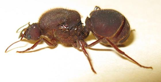 A Flood Brought In This New Species Of Ant To My Neighborhood Size