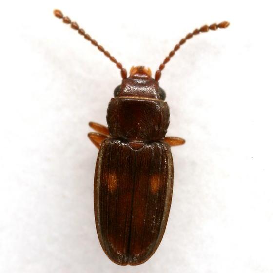 Laemophloeus biguttatus (Say) - Laemophloeus biguttatus