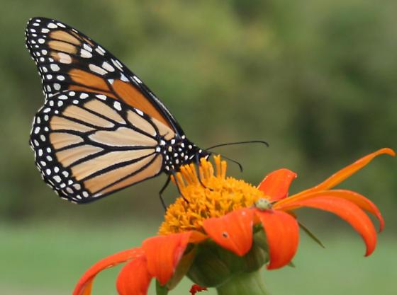 Monarch on mexican sunflower - Danaus plexippus - female