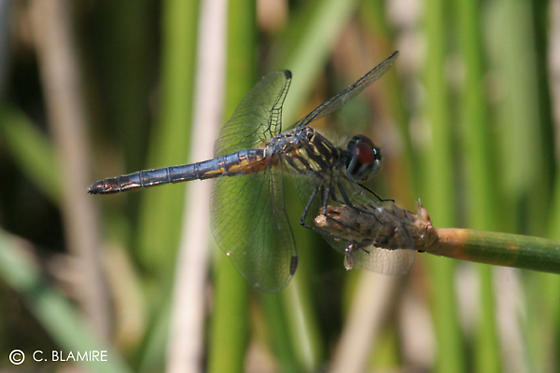 dragonflies - Pachydiplax longipennis - female