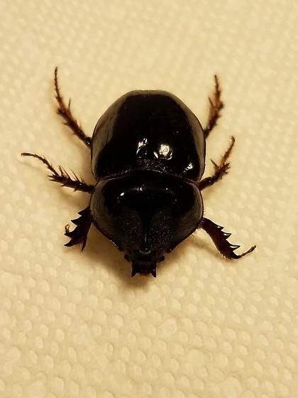 Xyloryctes jamaicensis - male