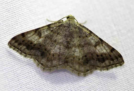 Geometrid moth - Digrammia ocellinata