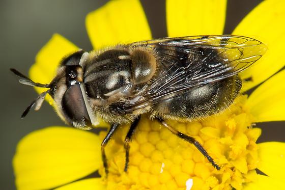 Copestylum sp.? - Copestylum lentum - female