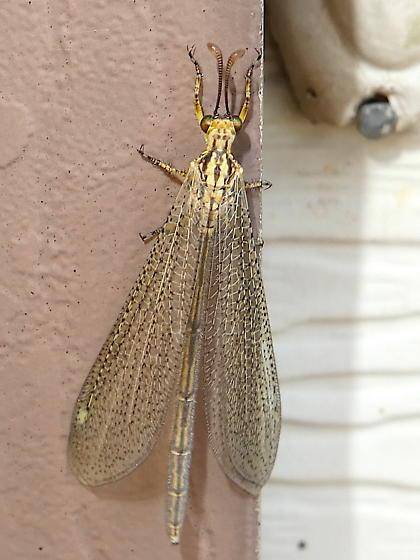 Brachynemurus sp. - Brachynemurus abdominalis