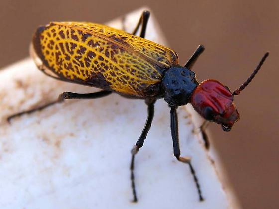Iron Cross Blister Beetle  - Tegrodera erosa