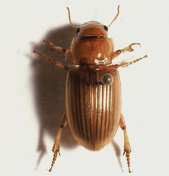 Unknown Oklahoma beetle - Geopinus incrassatus