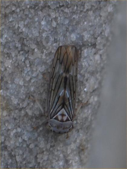 cool bug - Idiocerus
