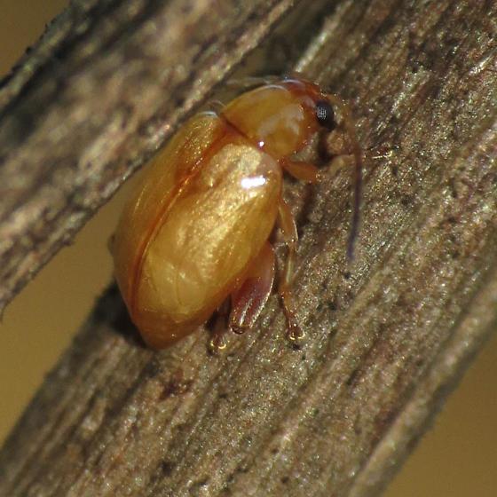 Tansy Ragwort Flea Beetle - Longitarsus jacobaeae