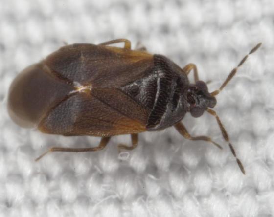 Hemiptera IMG_3833 - Brachysteles parvicornis