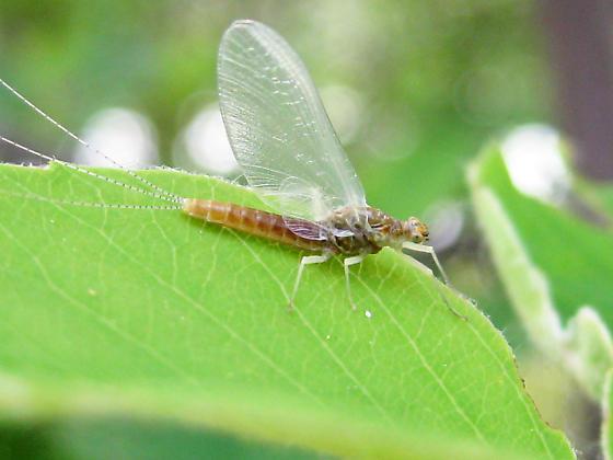 Ephemerella dorothea - female